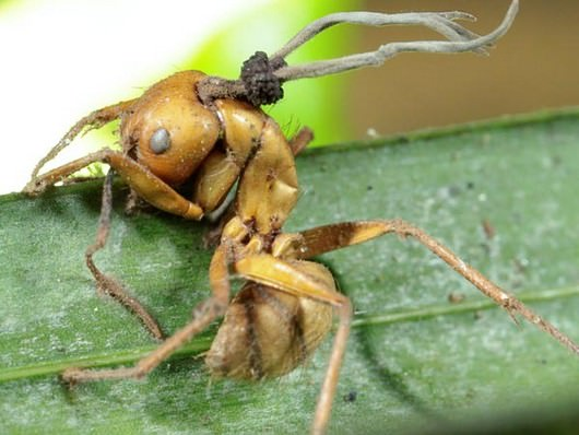 An Ant Infected with Cordyceps