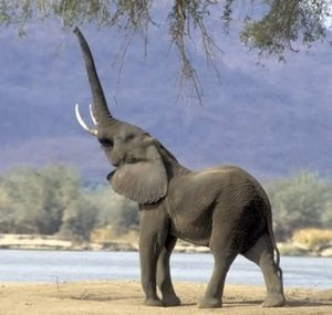 Elephants Have Self-Awareness