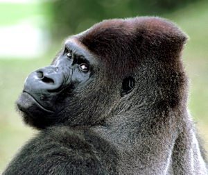 Gorillas Have Self-Awareness