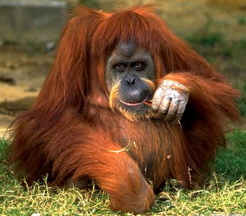 Orangutans Have Self-Awareness