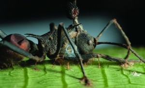 A Zombie Ant Infected with Cordyceps (Credit: Pennsylvania University)