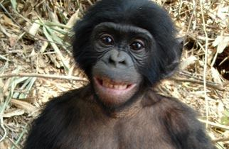 Bonobos Are Highly Intelligent