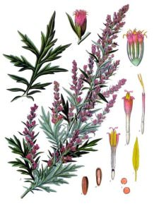 Mugwort: Dream Sage of the Chumash Indians