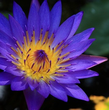 Blue Lotus The Ancient Egyptian Dream Flower